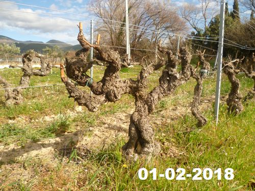 The vine is pruned, ready for a new season.